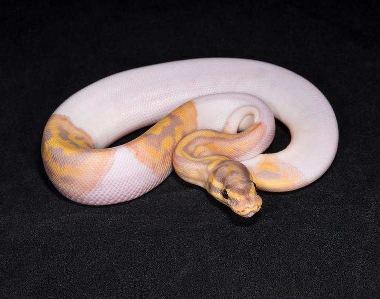 1755, male Banana Pied, $650