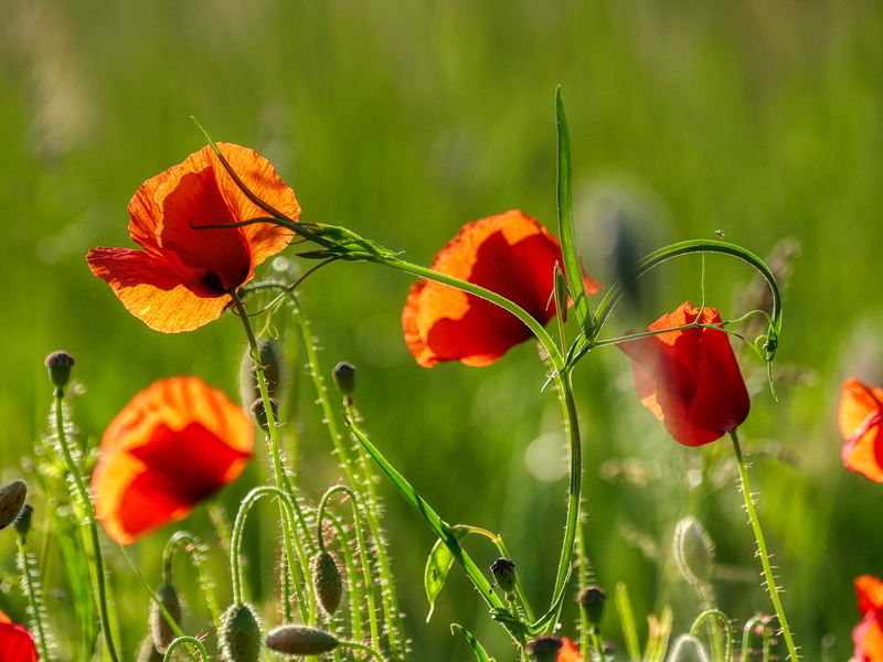 Poppies under the sunlight