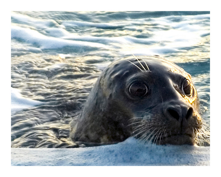 Seal Moss Landing, California
