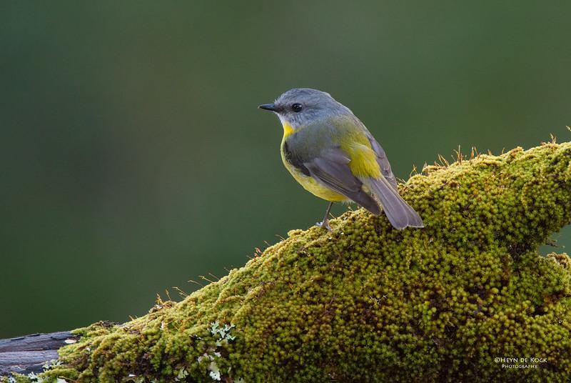 Eastern Yellow Robin, Bangalee, NSW, Jul 2014-1.jpg