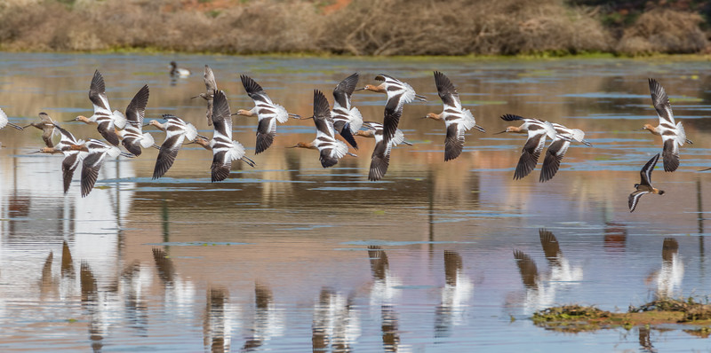 American Avocet, Short-billed Dowitcher and Killdeer