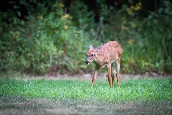 Deer July 2018
