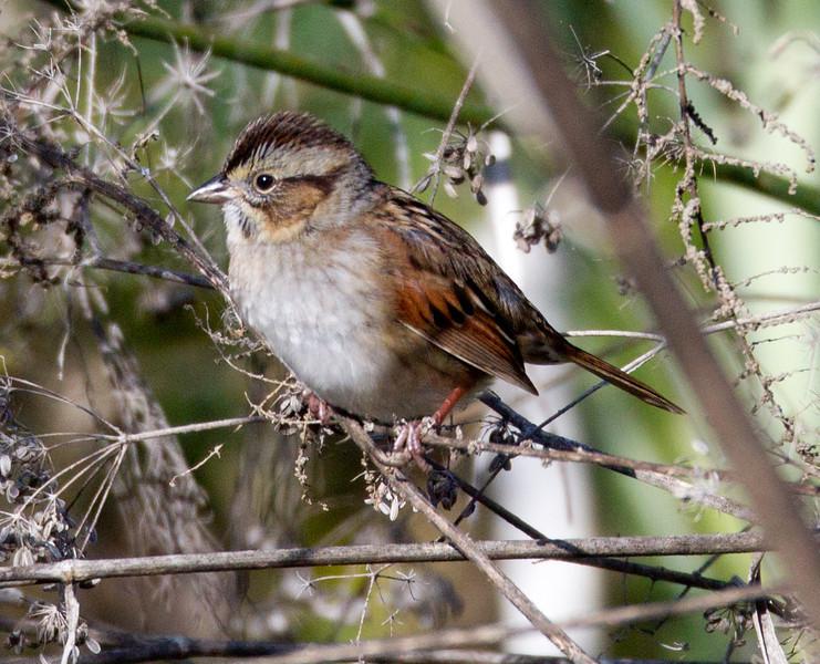 Swamp Sparrow  Aviara 2014 0112-1879.CR2