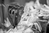 Gate Keeper - Pyronia tithonus (34)