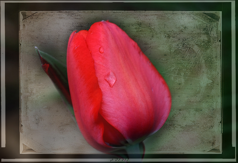 IMG_3998-tulip-red.jpg