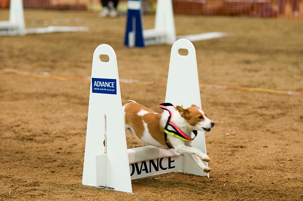 Flyball, Wodonga, Aug. 2006