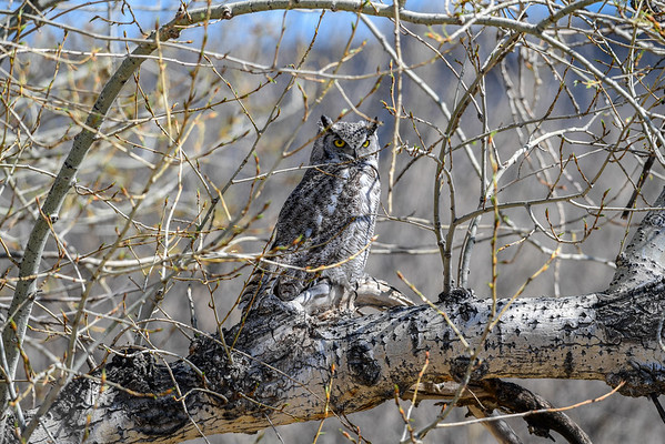 4-20-16 Great Horned Owl - The Maze