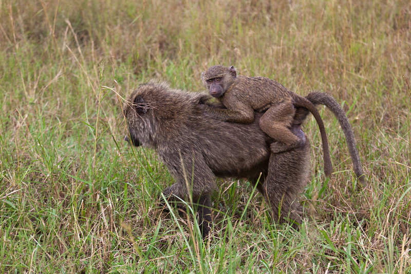 Baboons / Paviane
