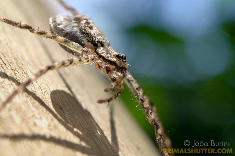 Trechaleidae spider carrying an eggsac