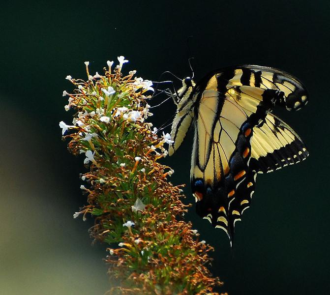 Butterflies 08-02-2008 9.JPG