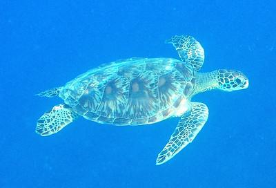 2013-09-27 Turtle at Gun Beach
