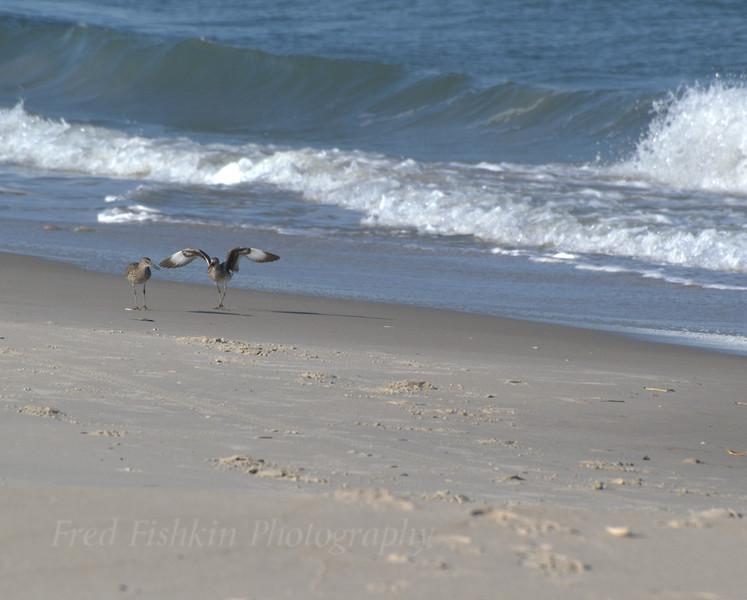 Gull courting.jpg