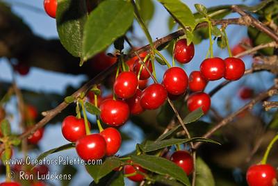 North Star Cherry - Prunus cerasus