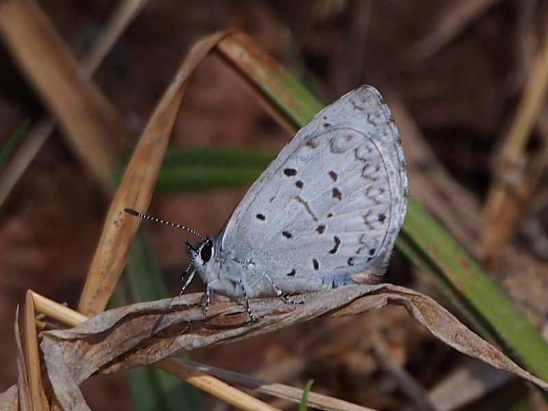 C. Violacea
