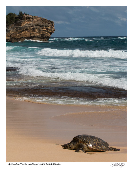 180202_MG_9177 Green Sea Turtle Shipwreck's Beach.jpg