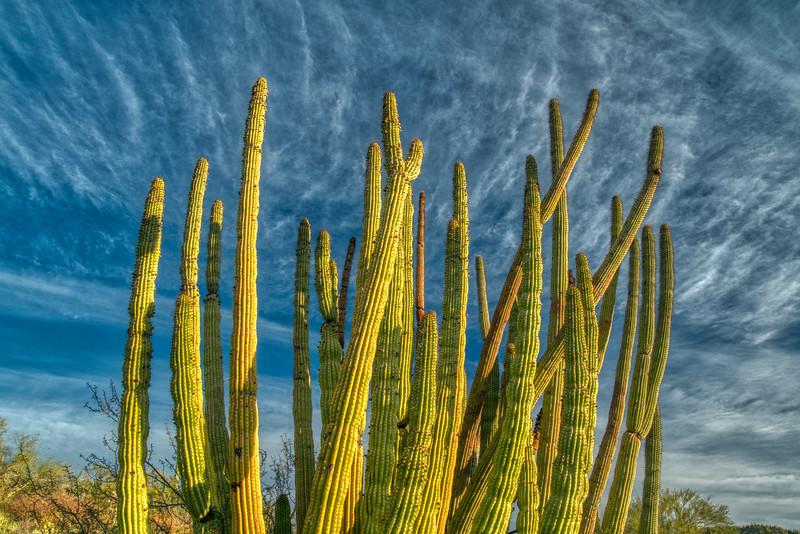 Organ Pipe Cactus 2020-13.jpg