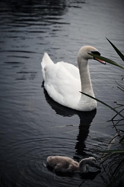 Swans_Of_Castletown051.jpg