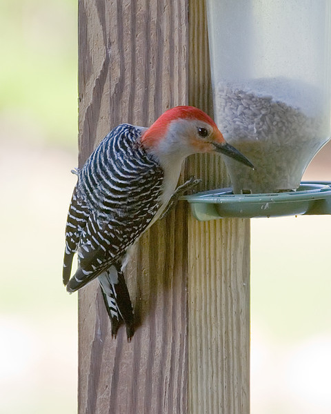 Red Bellied Woodpecker at Feeder