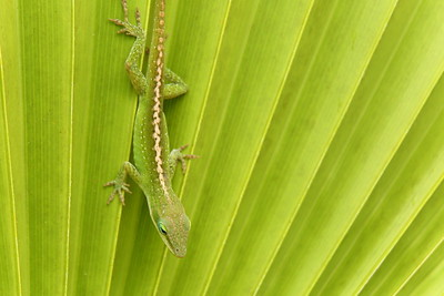 Green anole on leaf. © 2020 Kenneth R. Sheide
