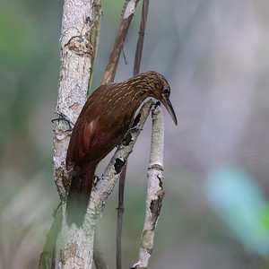 Buffthroated Woodcreeper