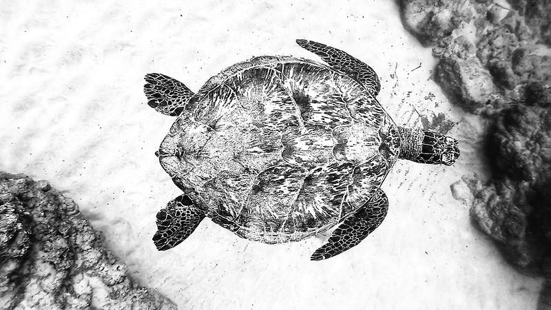 Green Sea Turtle underwater in Maui