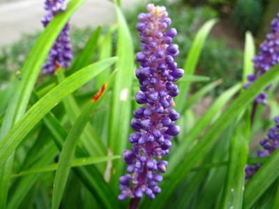 Liriope muscari close-up.jpg