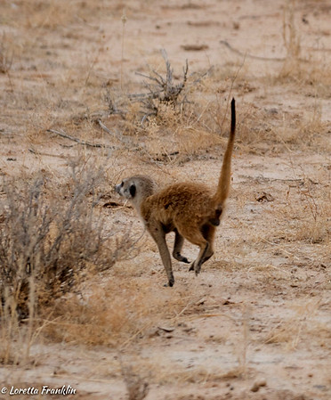 Meerkats and other small creatures