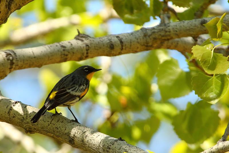 Yellow-rumped Warbler - Audubon's