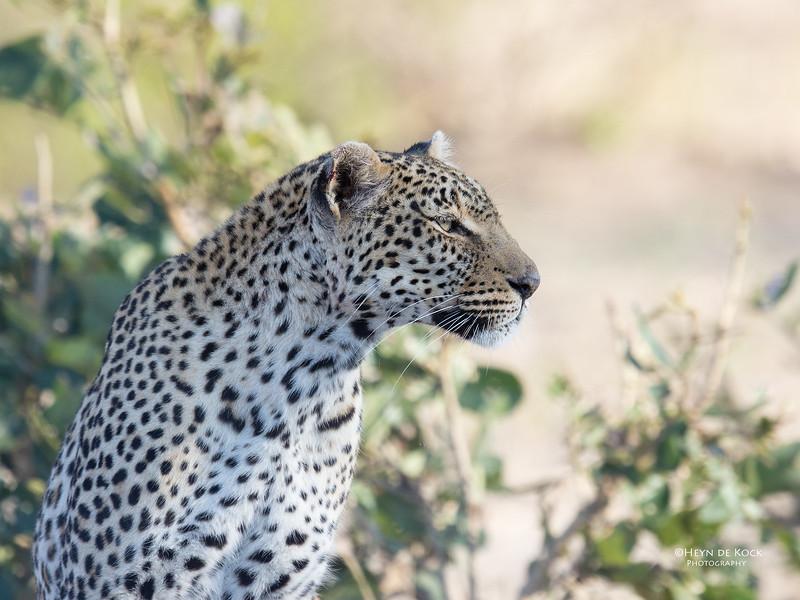 Leopard (Salayexe), Sabi Sands (EP), SA, Oct 2016-1.jpg