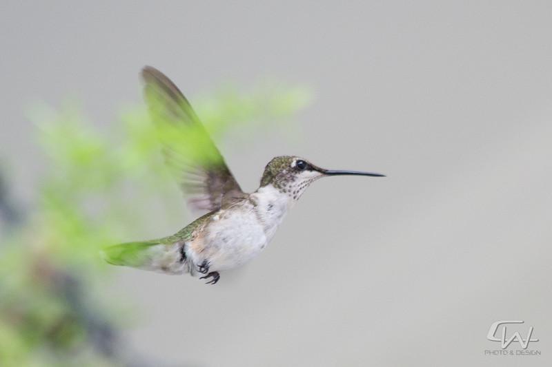 Hummingbird-1931-2.jpg