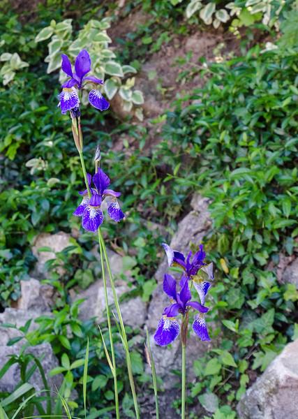 Irises2017.019.jpg