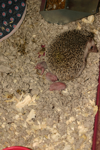 Litter - BB and Buttercup (04/25/2004)  Newborn: ~5 hours old.  Filename reference: 20040425-113722-HAH-Hedgehog_Babies