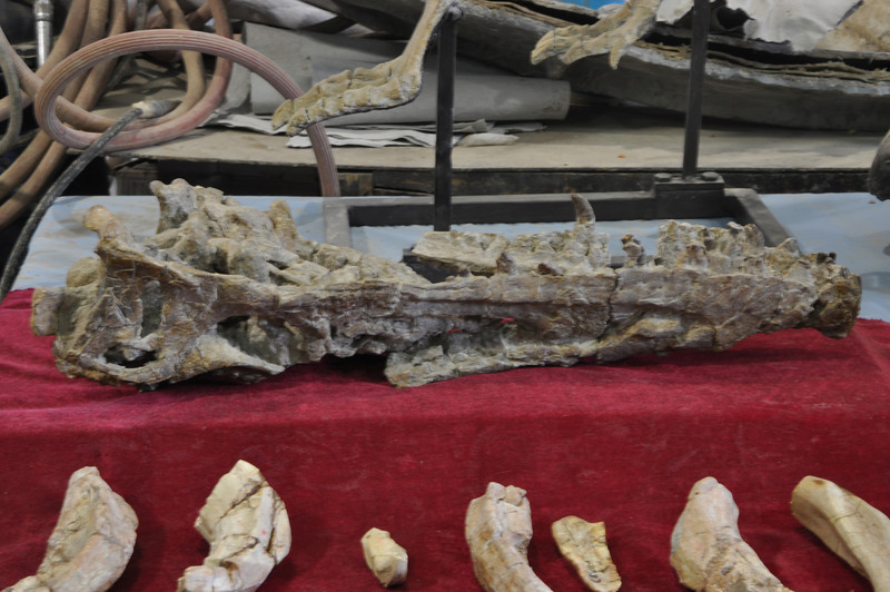 This is (upside-down) the skull of the new basal tyrannosauroid theropod Xiongguanlong, published earlier in 2009 by Da-qing.