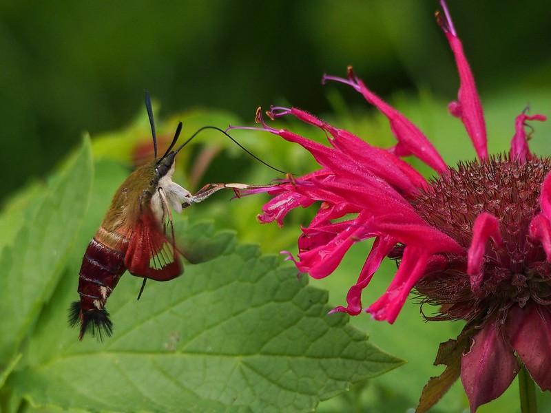 Hummingbird Clearwing (7853: Hemaris thyspe)