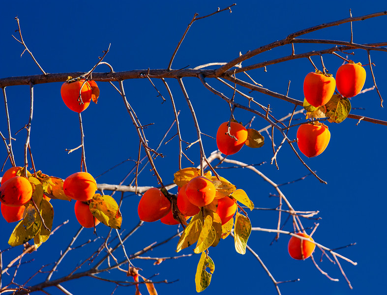 Persimmon Tree, San Jose, California, 2009