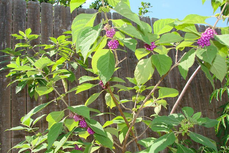 Callicarpa americana / American Beautyberry (deciduous shrub, Texas native) 8/25/07