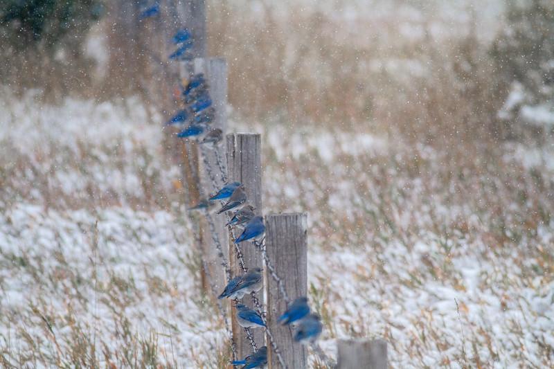 Mountain Bluebird flock on barbed wire fence in snow Theodore Roosevelt National Park Medora ND -1881.jpg