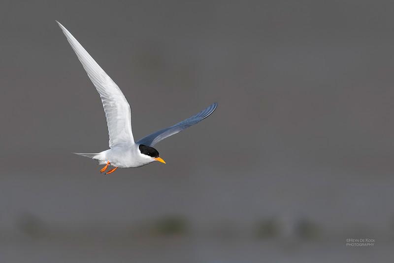 Black-fronted Tern, Christchurch, SI, NZ, Sep 2018-13.jpg