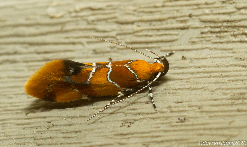Orange-headed Epicallima, Epicallima argenticinctella, from Iowa.