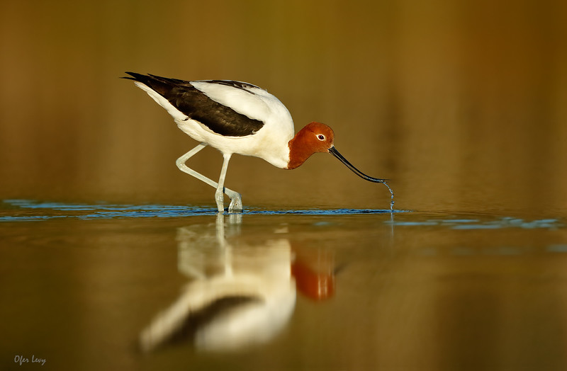 Red-necked Avocet feeding 5 MASTER.jpg