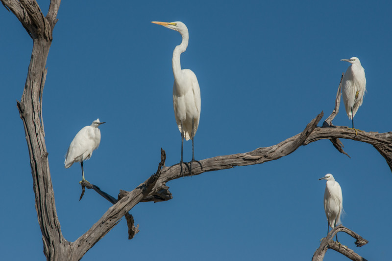 Z_2_2006_A_A Great Egret and Little Egrets.jpg