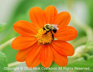 Bee feeds on flower