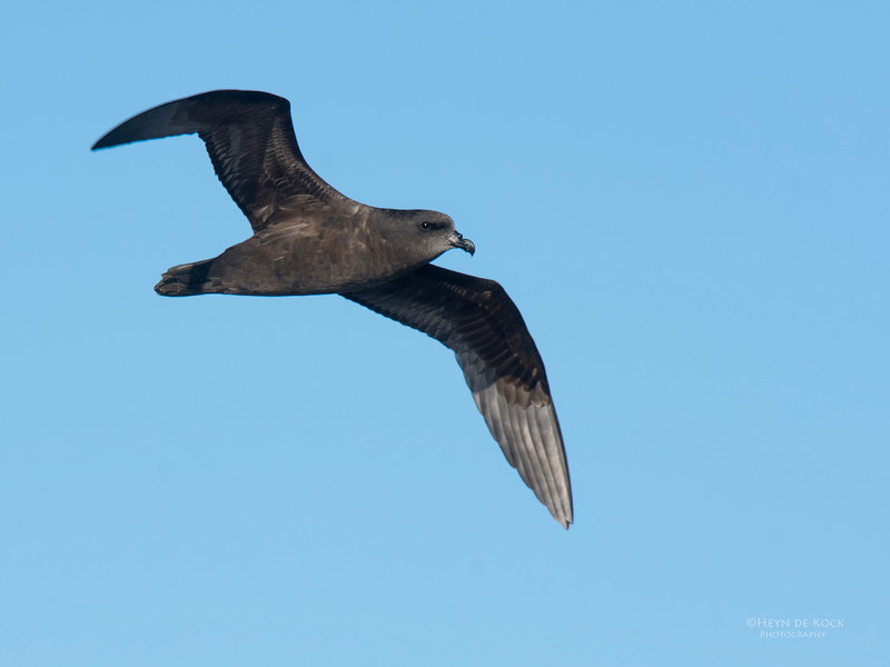 Great-winged Petrel, Eaglehawk Neck Pelagic, TAS, May 2016-4.jpg