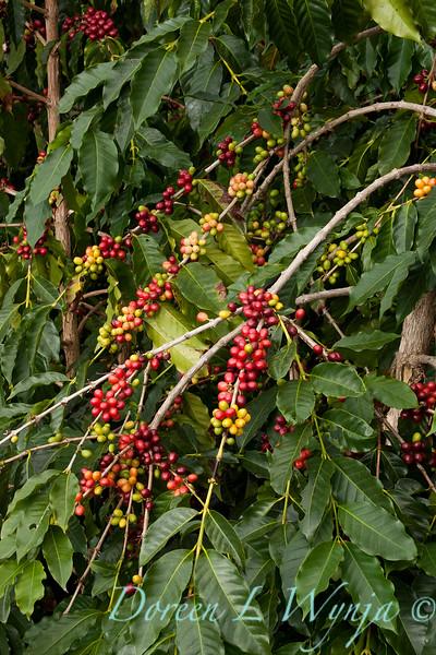 Coffea arabica_083.jpg