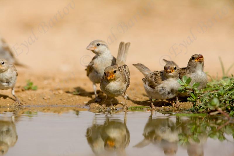IMG_0172 House Sparrow.jpg
