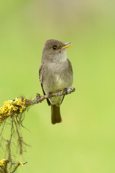 Willow Flycatcher Kamloops, BC