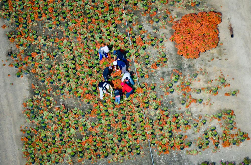. Workers harvest plants at a nursery. (Pioneer Press: Ben Garvin)