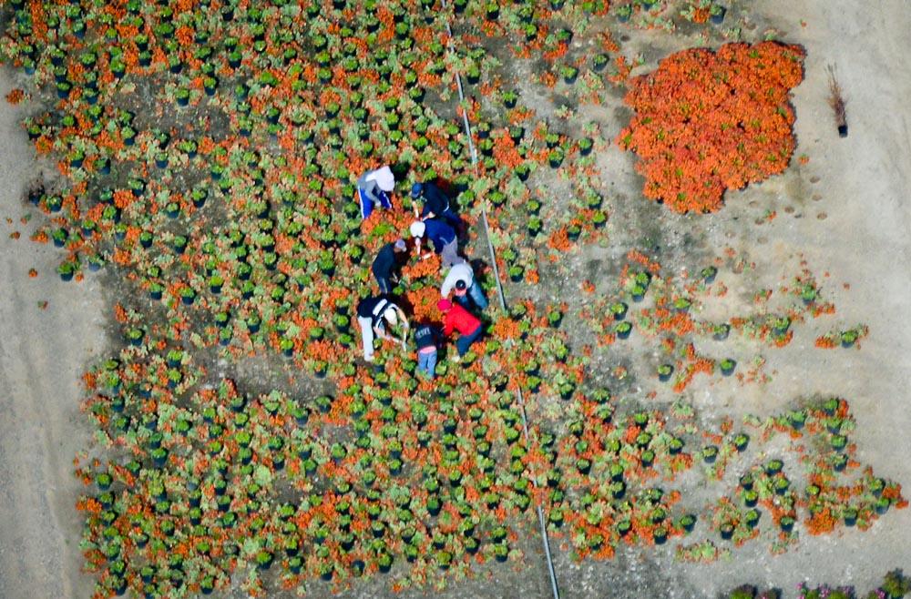 . Workers harvest plants at a nursery. (Pioneer Press: Ben Garvin)