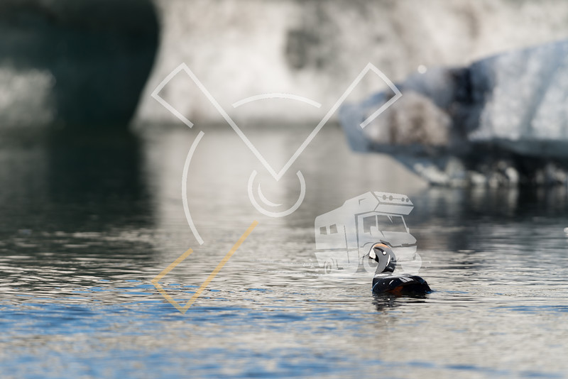 Harlequin duck at Jokusarlon glacier lagoon in Iceland