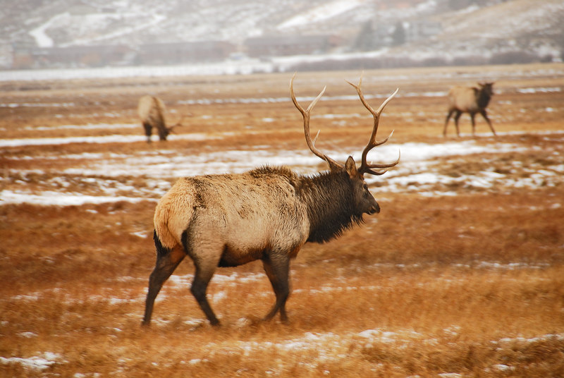 Elk   (Dec 13, 2006, 02:29pm)  Picture taken from a wagon (in the rain) at the National Elk Refuge in Jackson Hole.